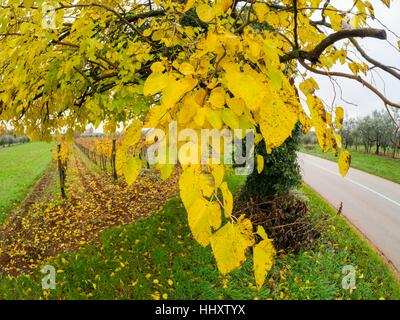 Autumn Yellow leaves on tree next to small road country country-road countryroad - Stock Photo