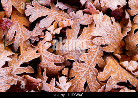 Oak tree leaves in autumn. - Stock Photo