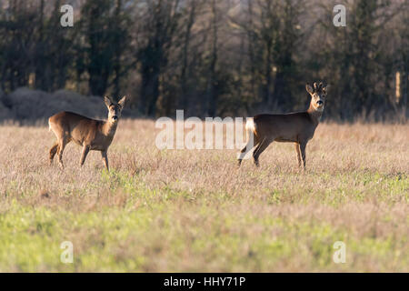 Roe deer (Capreolus capreolus) male and female, in family Cervidae, buck with growing antlers still covered in velvet - Stock Photo