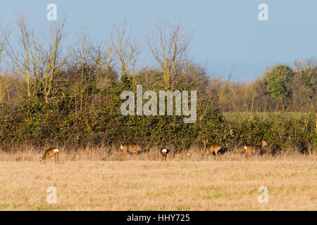 Herd of roe deer (Capreolus capreolus) grazing by hedgerow in family Cervidae, with white rump patches clearly visible - Stock Photo