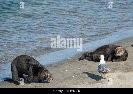 California sea otter or southern sea otter, Enhydra lutris nereis, comes ashore to bask on the beach with other - Stock Photo