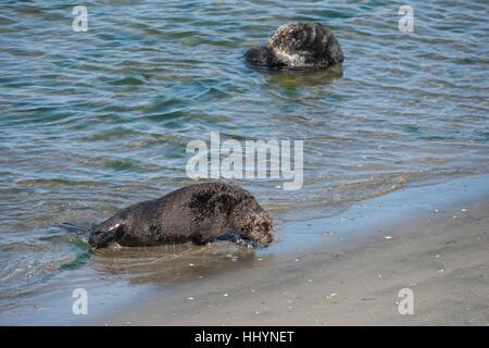 California sea otter or southern sea otter, Enhydra lutris nereis, comes ashore to bask on the beach, Elkhorn Slough, - Stock Photo