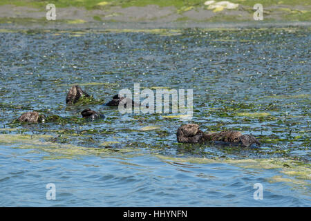 California sea otters or southern sea otters, Enhydra lutris nereis, resting in a raft while wrapped in eelgrass, Elkhorn Slough, California, USA