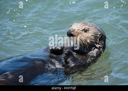California sea otter or southern sea otter, Enhydra lutris nereis ( threatened species ), Elkhorn Slough, Moss Landing, - Stock Photo
