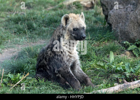 Hyena Offspring Hyaena with offspring ...
