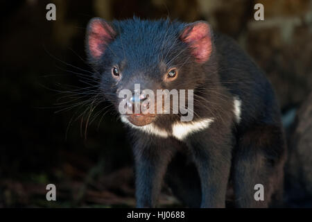 Tasmanian Devil close-up - Stock Photo