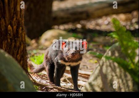 Tasmanian Devil in Tasmania - Stock Photo