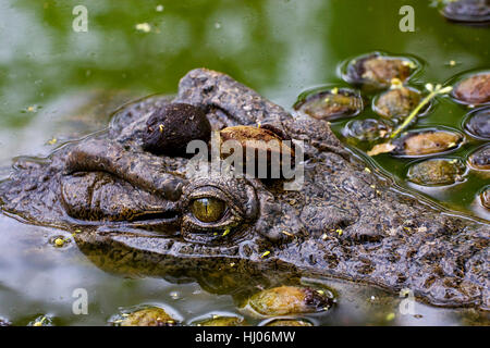 wait, waiting, reptile, brown, brownish, brunette, crocodile, eye, organ, look, - Stock Photo