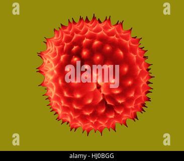 Ragweed pollen,Ambrosia psilostachya,coloured scanning electron micrograph (SEM).This pollen is allergen.Ragweed - Stock Photo