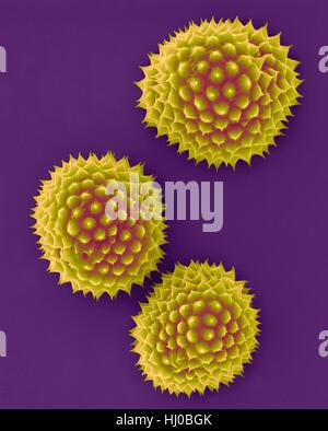Ragweed pollen (Ambrosia psilostachya),coloured scanning electron micrograph (SEM).This pollen is allergen.Ragweed - Stock Photo