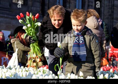 Amsterdam, Netherlands. 21st Jan, 2017. Visitors pick tulips during the 2017 Dutch National Tulip Day in Amsterdam, - Stock Photo