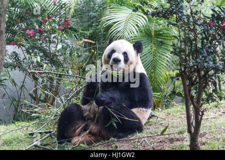 Cute Giant Panda eating bamboo from China - Stock Photo