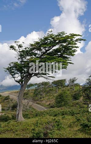 tree, trees, argentina, crooked, warped, hunchbacked, humpbacked, bowed, bent, - Stock Photo
