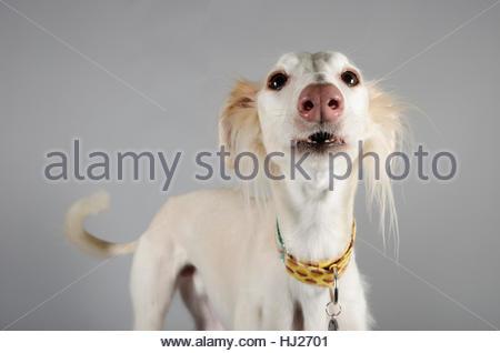 Saluki - male - grey background - 6 years old - Stock Photo