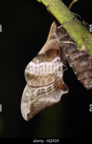 Underwing of a Eyed Hawk-moth (Smerinthus ocellata), a stunning large grey & black moth, with a black background - Stock Photo