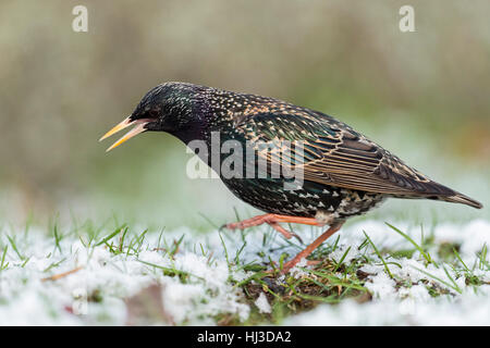 Common Starling ( Sturnus vulgaris ) dancing on snow covered ground, having cold feet, in grass, onset of winter, - Stock Photo
