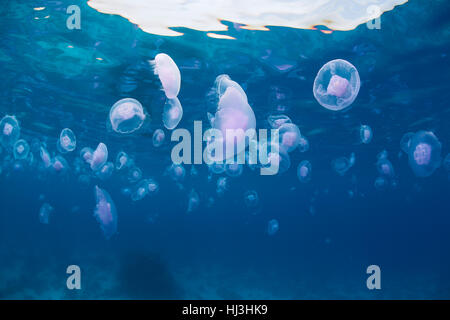 Underwater wide-angle photo of hundreds of jellyfish drifting just under the surface of the crystal clear waters - Stock Photo