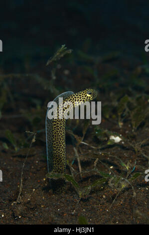 Underwater photo of spotted Leopard or Taylor's garden eel spying over the sea grass field in the black sand of - Stock Photo