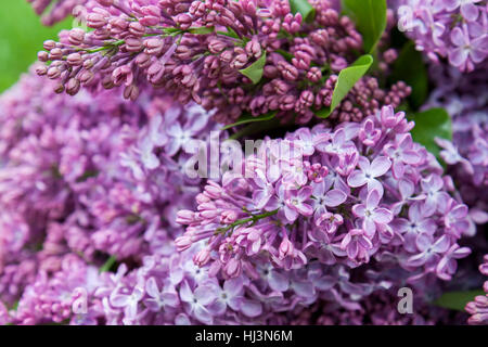 Branches of flowering purple lilac syringa on a green lawn. Beautiful spring floral background. - Stock Photo