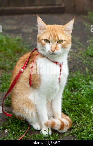Cute white-red cat in a red collar sitting on the trail of green grass - Stock Photo