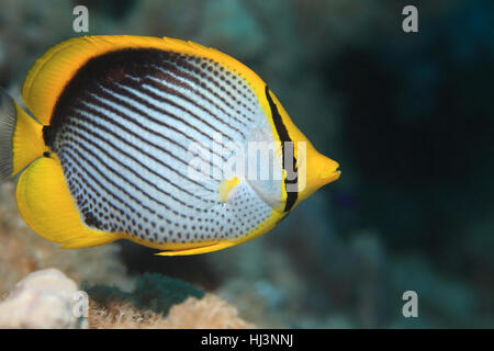 Blackbacked butterflyfish (Chaetodon melannotus) underwater in the coral reef of the Red sea - Stock Photo