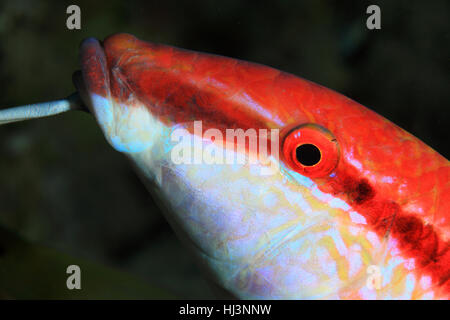 Redstriped goatfish (Parupeneus rubescens) underwater in the coral reef of the red sea - Stock Photo
