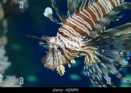 Common lionfish (Pterois volitans) underwater in the tropical waters of the red sea - Stock Photo