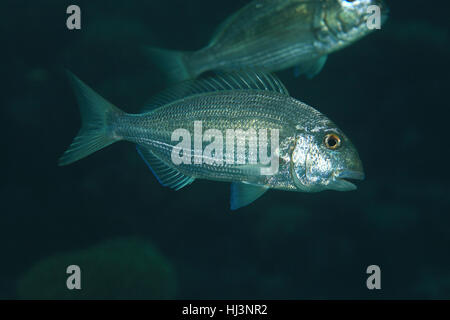 Red sea seabream fish (Diplodus noct) underwater in the tropical red sea - Stock Photo