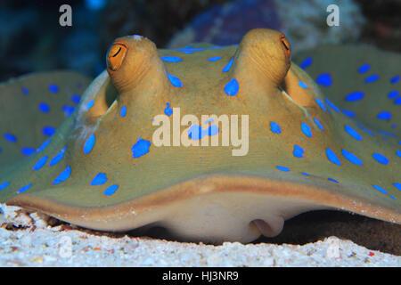 Bluespotted stingray (Taeniura lymma) on the sandy bottom of the Red sea - Stock Photo