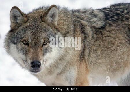 Close-up of a wolf in snow - Stock Photo