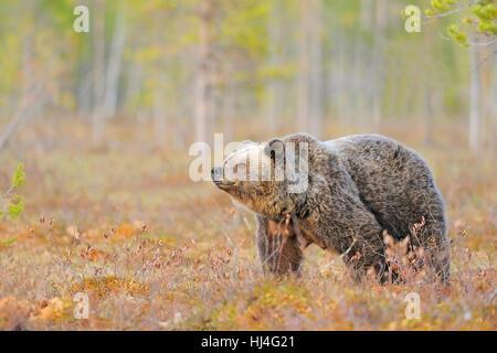 Brown bear (Ursus arctos), female at edge of forest, northeastern Finland, Finland - Stock Photo
