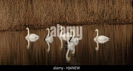 Flock of Whooper swans (Cygnus cygnus) - Stock Photo