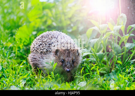 Hedgehog among the green grass in the garden with sunny hotspot,animals, animal barbed needles, mammals - Stock Photo