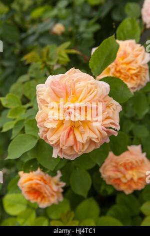 Peach-collor flower of Rosa Alchymist - Stock Photo