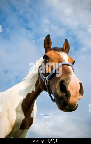 Head of a Quarter Horse with Cloudscape - Stock Photo