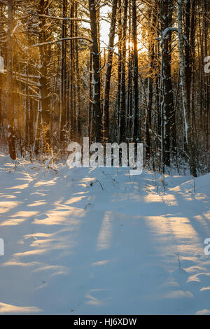Sunlight Shining Through Snow Covered Trees in Winter Forest During Sunset Photograph - Stock Photo