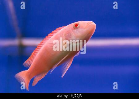 Photo of aquarium fish aulonocara in freshwater - Stock Photo