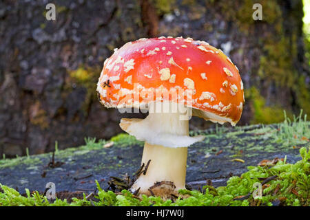 Amanita muscaria, commonly known as the fly agaric or fly amanita, is a poisonouso mushroom. It  is a hallucinogen - Stock Photo