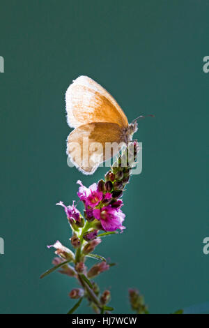 An Ochre Ringlet butterfly, Coenonympha tullia insulana, on a wildflower. - Stock Photo