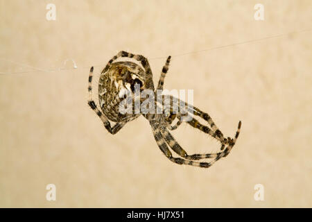 A cross orbweaver spider, Araneus diadematus - Stock Photo
