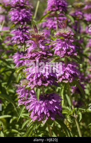 Lemon Bee Balm - Monarda is a genus of flowering plants in the mint family, Lamiaceae. The genus is endemic to North - Stock Photo