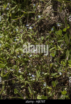 Maiden blue eyed Mary, Collinsia parviflora in flower, Sierra Nevada. - Stock Photo