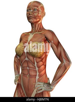 3D Rendering der Anatomie und Muskeln einer Frau Stock