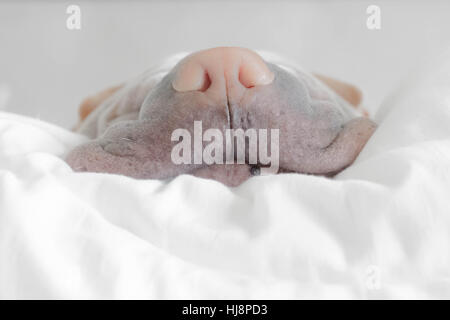 Close-up of a shar pei dog's nose on a pillow - Stock Photo