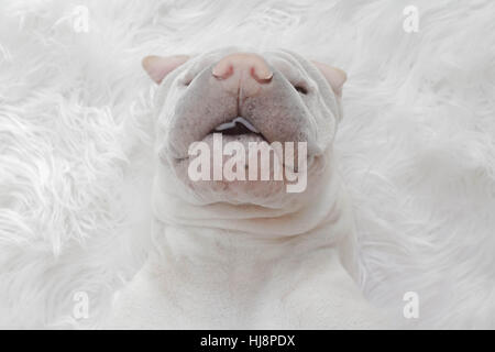 Overhead view of shar pei dog lying on white rug - Stock Photo