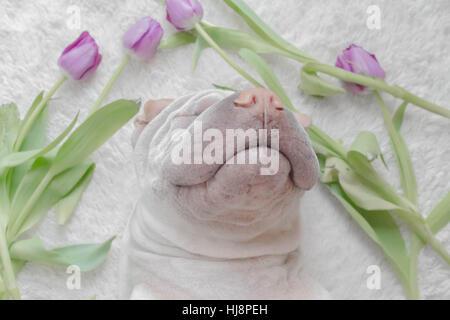 Shar pei dog sleeping surrounded by tulips - Stock Photo