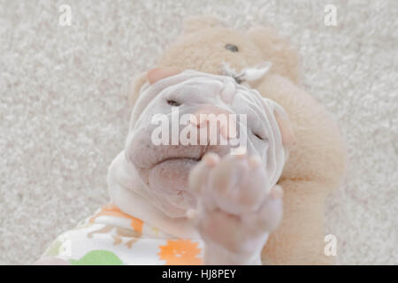 Tired shar pei dog lying on the floor - Stock Photo