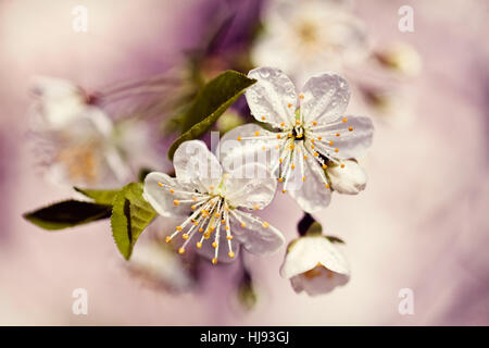 white flowers on the purple  backgroung, note shallow depth of field - Stock Photo