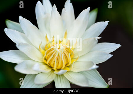 Extreme closeup of yellow and white lilly flower bloom