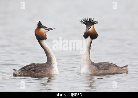 community, loon, to court, flirt, flirting, marriage, life partnership, - Stock Photo